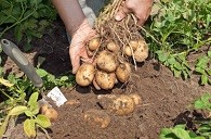 5 Tips For Growing Your Favorite Potatoes